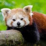Panda_YT